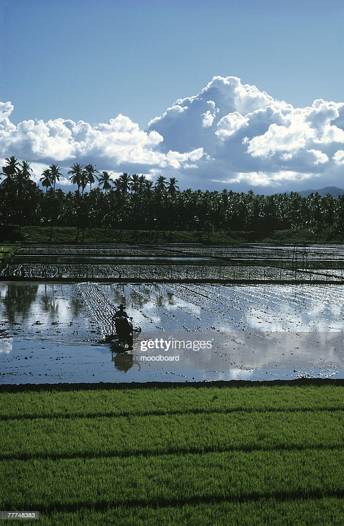 Farm Worker Plowing Paddy Field : Stock Photo