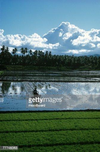 Farm Worker Plowing Paddy Field : Stock Photo