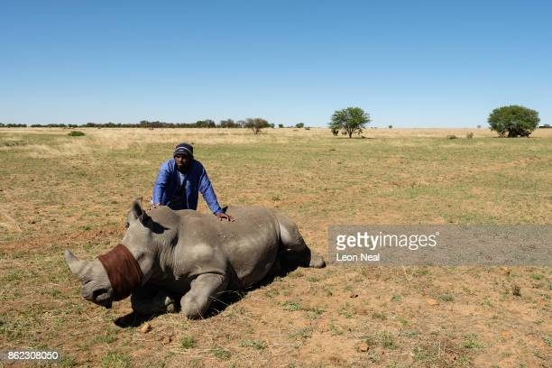 A farm worker stands with a sedated and blindfolded white rhino before it has it's horn trimmed at the ranch of rhino breeder John Hume on October 16...