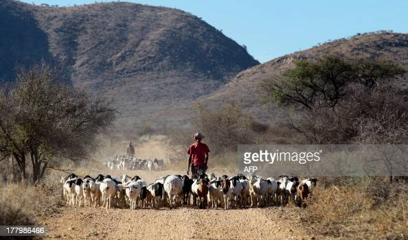 Farm worker Theo Awochab walks with a herd of goats on Retha Joubert's farm near near Gobabis east of the capital Windhoek on August 15 2013...
