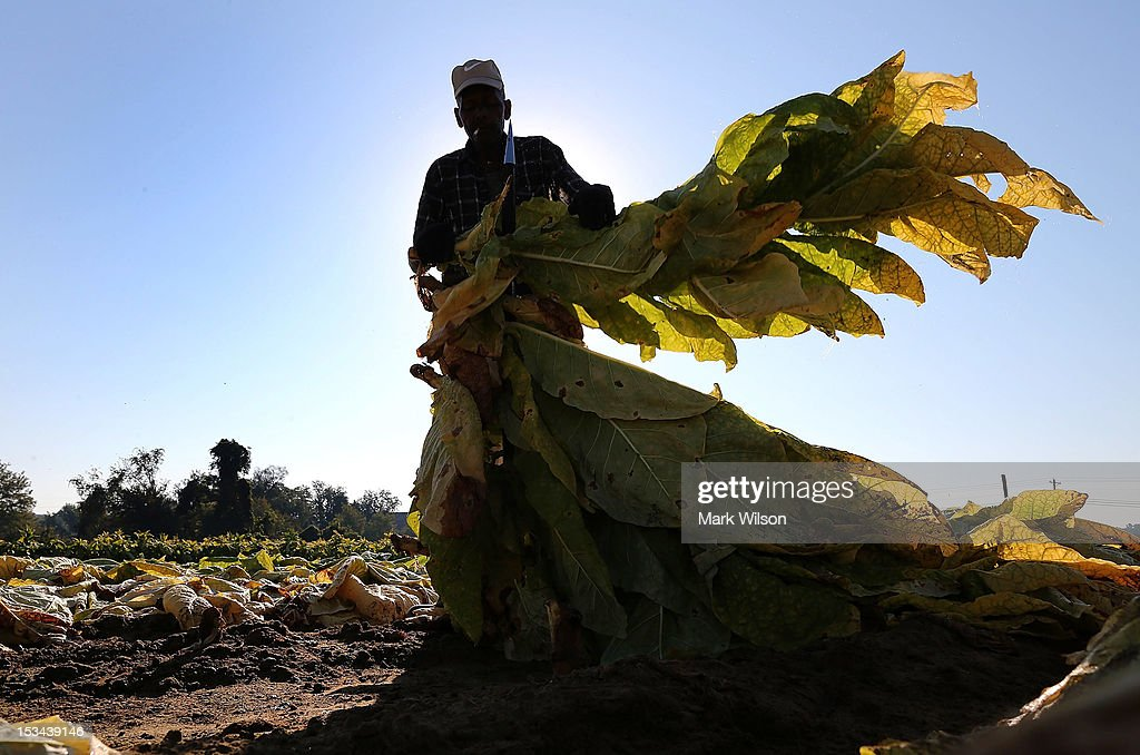 Farm worker Thomas Earley helps harvest tobacco leaves, on October 5, 2012 in Owings, Maryland. Most of the Tobacco crops in southern Maryland were not affected by this summer's severe drought.