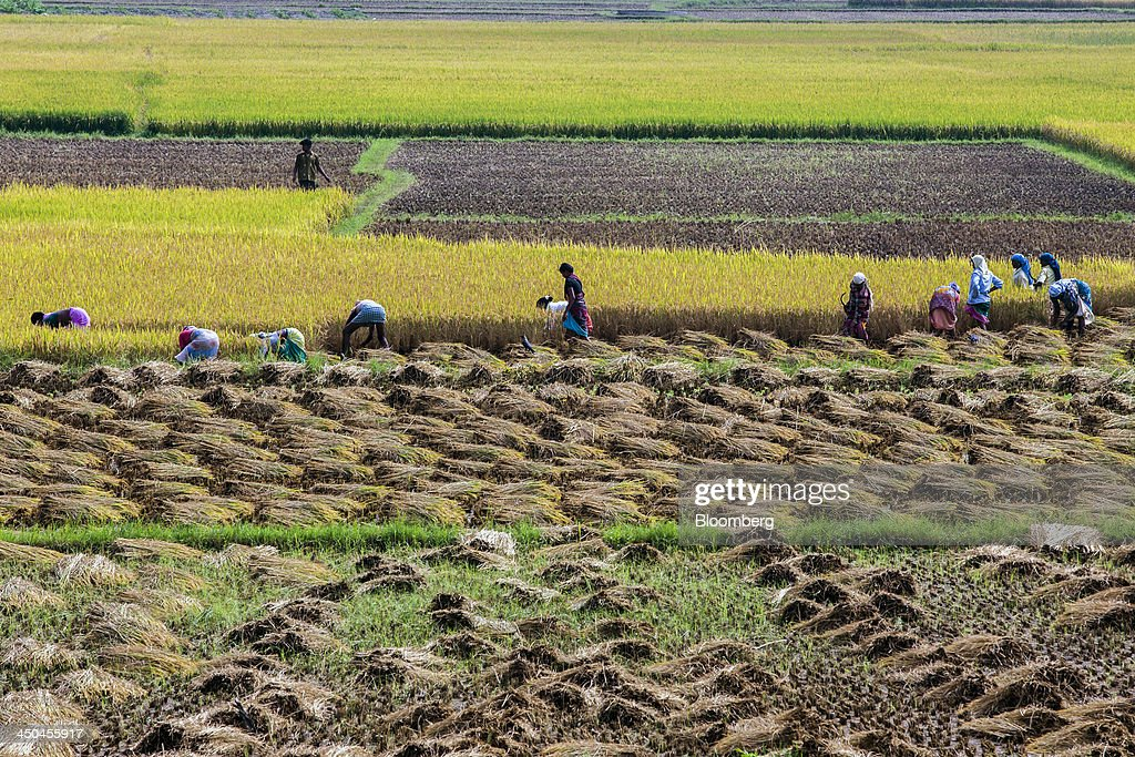 Farm workers cut and collect rice during a crop harvest in paddy fields near Thimmapuram, Tamil Nadu, India, on Thursday, Nov. 14, 2013. Record onion prices and the soaring cost of rice and coriander are frustrating Reserve Bank of India Governor Raghuram Rajans battle to curb inflation while supporting growth in Asias third-largest economy. Photographer: Prashanth Vishwanathan/Bloomberg via Getty Images