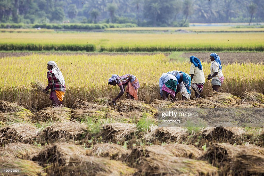 Farm workers cut rice with sickles during a crop harvest in paddy fields near Thimmapuram, Tamil Nadu, India, on Thursday, Nov. 14, 2013. Record onion prices and the soaring cost of rice and coriander are frustrating Reserve Bank of India Governor Raghuram Rajans battle to curb inflation while supporting growth in Asias third-largest economy. Photographer: Prashanth Vishwanathan/Bloomberg via Getty Images