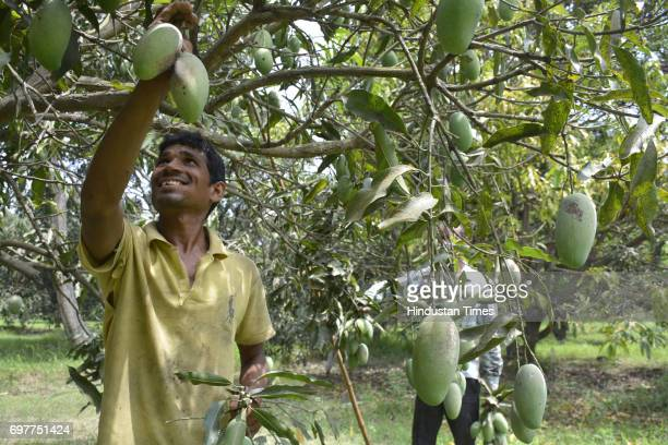 Farm workers gather mangoes on June 18 2016 in Ghaziabad India The Mango growers are cashing on to the summer season with bumper crop of mangoes like...