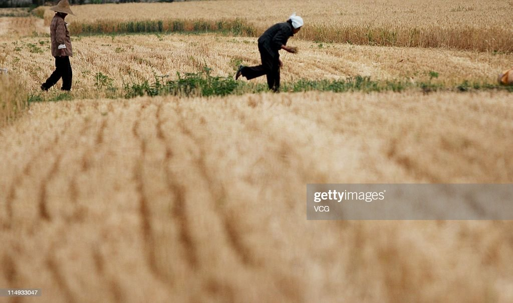 Farm workers glean wheat in a field on May 29, 2011 in Huaibei, Anhui Province of China. Anhui province will put 125,000 combine harvesters into this wheat harvest season, and it's estimated that the work will be completed basically in 10 days.