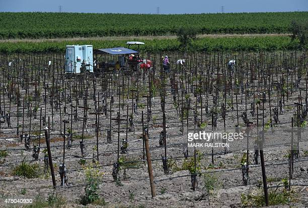 Farm workers graft grape vines near Ione as a severe drought continues to affect California on May 27 2015 California has recently announced sweeping...