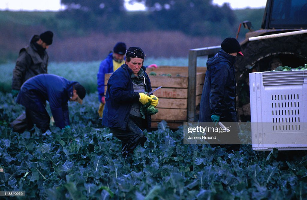 Farm workers harvest the broccoli early morning in Werribee. : Stock Photo