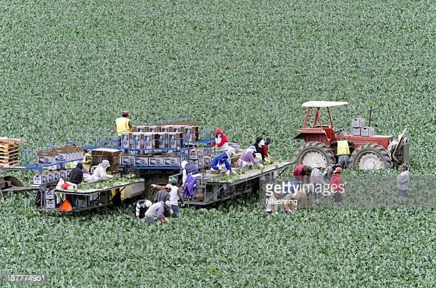 farm workers harvesting broccoli in Salinas Valley, California