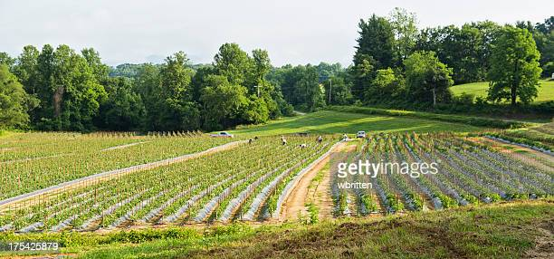 Farm workers in garden with tomato plants