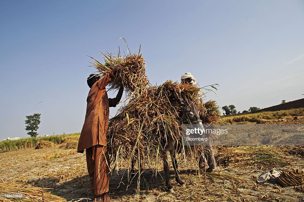 Farm workers load bundles of rice straw onto a donkey in the district of Chiniot in Punjab, Pakistan, on Sunday, Oct. 13, 2013. Prime Minister Nawaz Sharifs four-month-old government is struggling to revive the $231 billion economy crippled by chronic energy shortages and a spike in violence from a Taliban insurgency in the northwest. Photographer: Asad Zaidi/Bloomberg via Getty Images