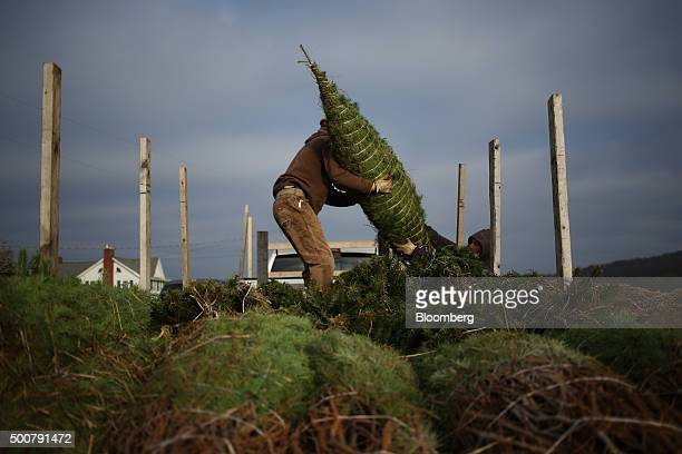 Farm workers load freshly harvested Douglas Fir Christmas trees into a truck at Brown's Tree Farm in Muncy Pennsylvania US on Tuesday Dec 8 2015...