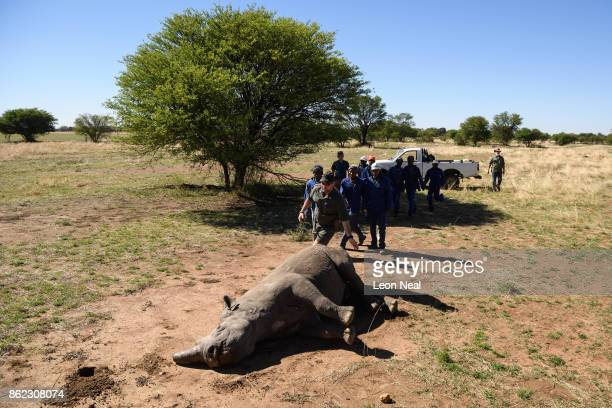 Farm workers rush trim the horn of a sedated black rhino at the ranch of rhino breeder John Hume on October 16 2017 in the North West Province of...