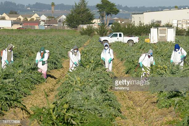 farm workers spraying artichokes