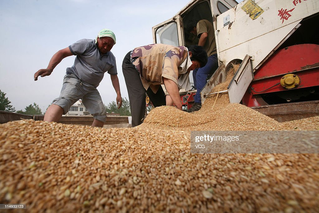 Farm workers spread wheat grain evenly across a trailer as it is filled from a combine harvester in a field on May 29, 2011 in Mengcheng County, Anhui Province of China. Anhui province will put 125,000 combine harvesters into this wheat harvest season, and it's estimated that the work will be completed basically in 10 days.