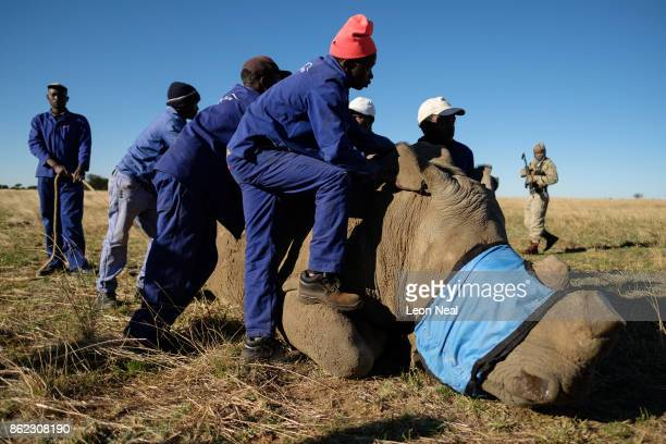 Farm workers stand with a sedated and blindfolded white rhino after it has it's horn trimmed at the ranch of rhino breeder John Hume on October 16...