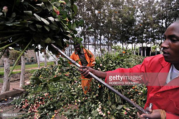 Farm workers use pitch forks to load a truck with discarded fresh roses at a flower exporter's farm in Naivasha Kenya on April 19 2010 The flowers...