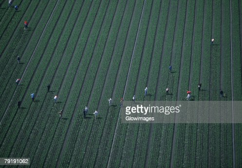 Farm workers weeding a lettuce field : Stock Photo