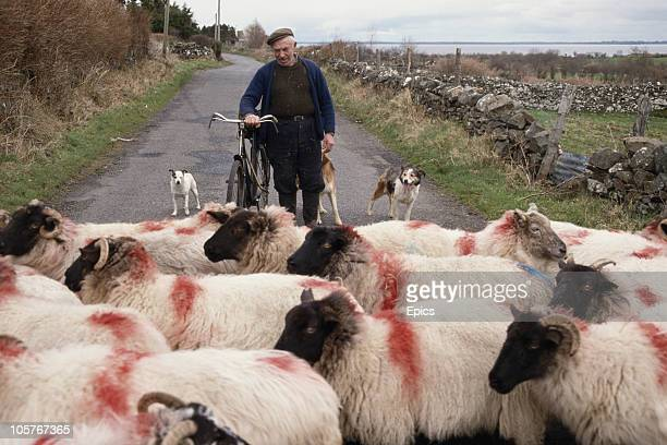 A farmer and his dogs heard sheep along a country road in the rural town of Ballinrobe County Mayo 1997