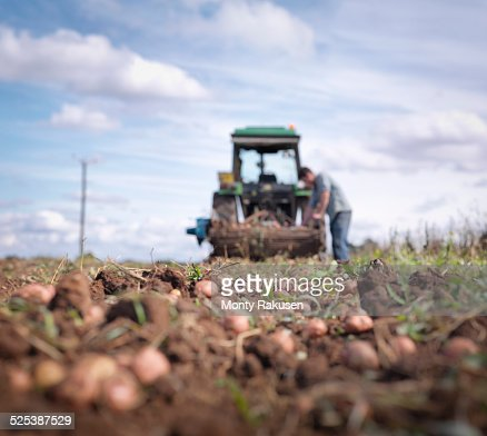 Farmer and tractor in field of organic potatoes