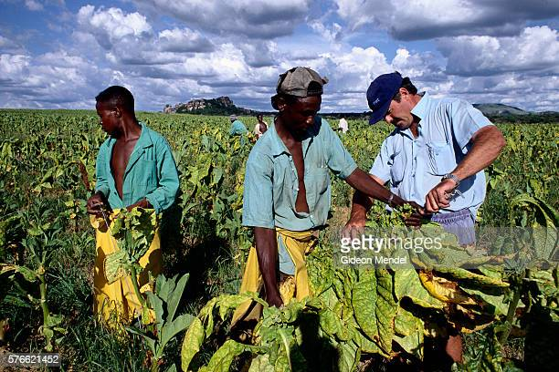 Farmer Assisting His Workers in Tobacco Field