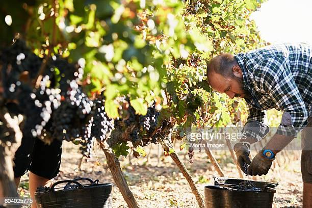 Farmer bending while harvesting fresh grapes