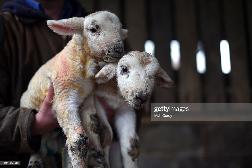 Farmer Bob King picks up two newborn lambs that were born this morning at his farm in the Wiltshire village of Edington, on March 21, 2013 near Westbury, England. Despite the poor weather the lambing season, which normally runs from February to May, is well under way and many farmers across the UK are on the lookout for signs in their flocks of Schmallenberg disease, a virus that can result in congenital disorders and stillbirths when infection takes place during the early stage of pregnancy.