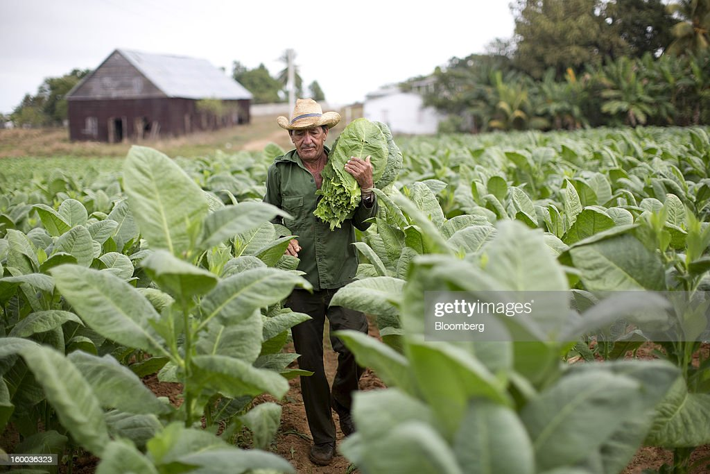A farmer carries a bundle of freshly-harvested tobacco leaves through a field on a plantation near Pinar del Rio, Cuba, on Monday, Jan. 14, 2013. In a country where the average monthly salary is $19, according to Cuba's statistics agency, even buying an airplane ticket will be beyond the reach of most of the island's 11 million residents as President Raul Castro begins easing travel rules on the communist island. Photographer: Andrey Rudakov/Bloomberg via Getty Images