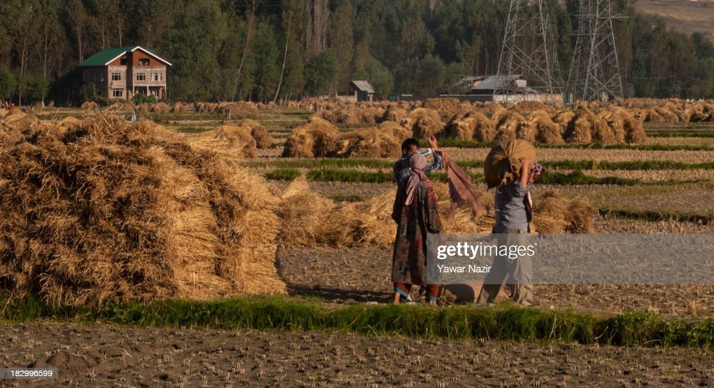 A farmer carries a sack of rice on his shoulders after harvesting in paddy fields October 03, 2013 in Sriinagar, the summer capital of Indian administered Kashmir, India. Paddy production has gone down in Kashmir during the recent years largely due to unplanned and rapid urbanisation, with the area under rice crop cultivation coming down from 122 hectares in 2010-11 to 112 hectares in 2013, according to an economic survey to the state government.
