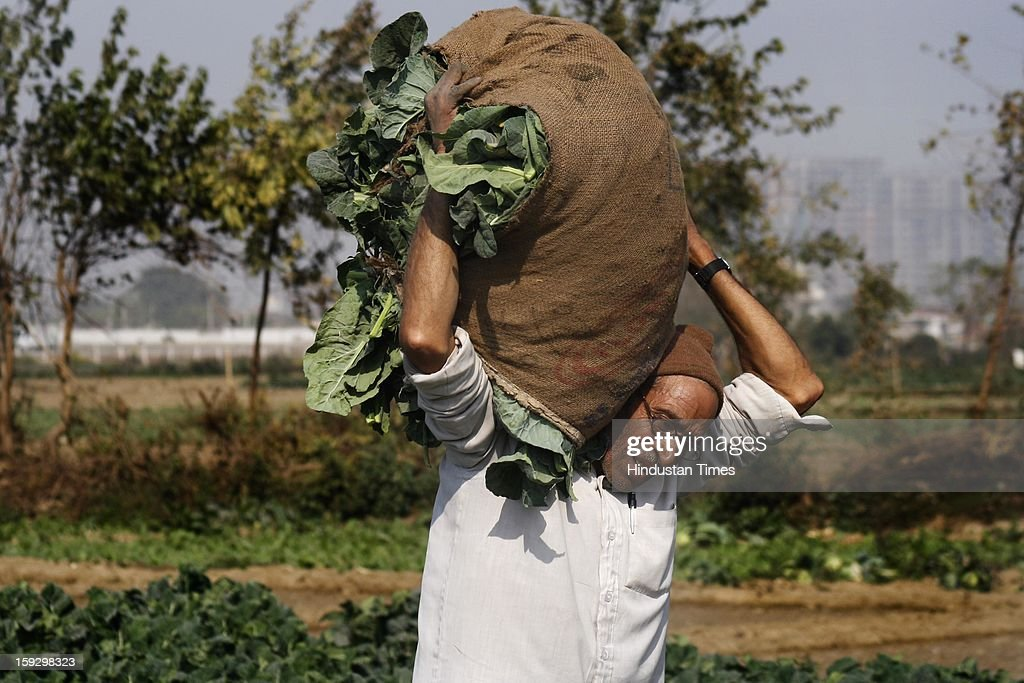 A farmer carries vegetables from a vegetable farm on January 10, 2013 in Noida, India. These farmers took the portion of land for contract from the owner & pay them Rupees 4000 (73.30 USD) for One Bhiga (14400 square feet) per year. They grow different vegetables in their contracted fields & make their living by selling them to the distributors.