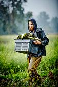Farmer carrying bin of lettuce across field