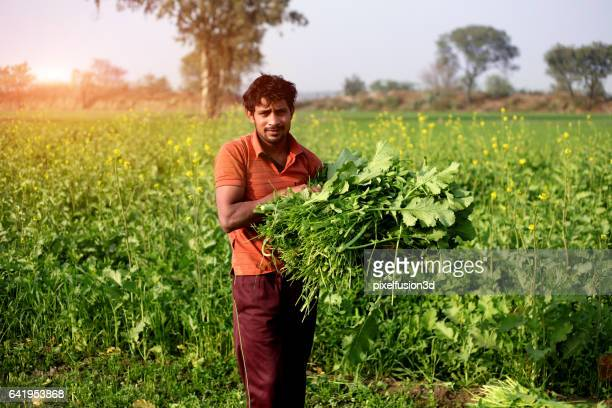 Farmer carrying mustard & oat crop