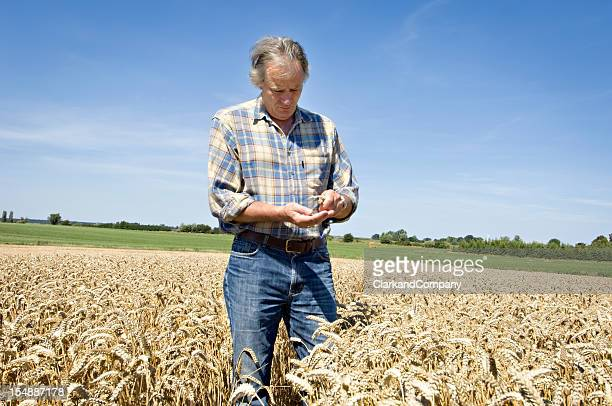 Farmer Checking His Wheat Harvest