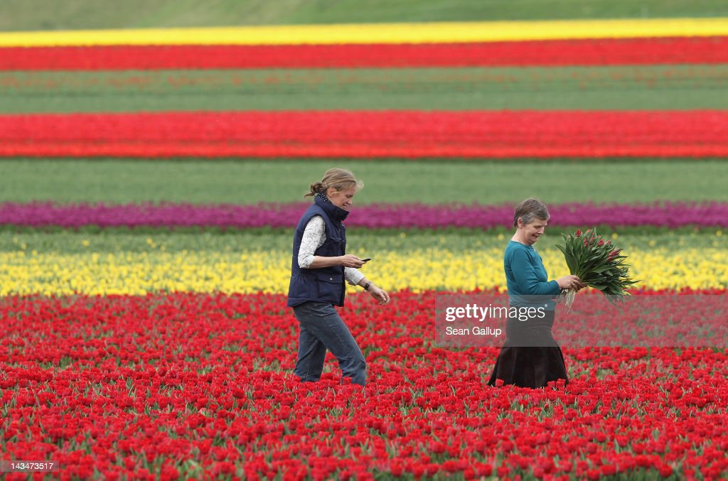 Farmer Christiane Degenhardt (C) and friend Barbara Ulferts gather tulips at Degenhardt's tulip field on April 27, 2012 near Schwaneberg, Germany. Spring weather is finally taking hold in Germany with temperatures expected to reach 28 degrees Celsius by the weekend.