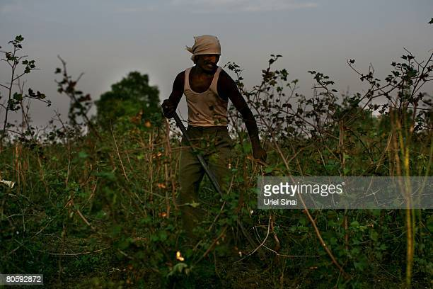 A farmer clears his cotton field on April 2008 in the village of Sunna in the Vidarbha region of Maharashtra state India A wave of farmers' suicides...