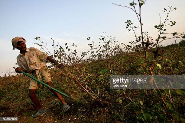 A farmer clears his cotton plant field on April 2008 in the village of Sunna in the Vidarbha region of Maharashtra state India A wave of farmers'...