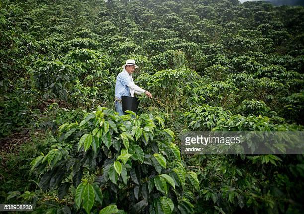 Farmer collecting coffee