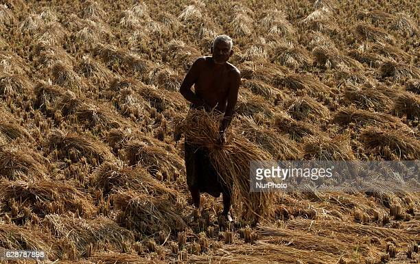 A farmer collecting ripped paddy trees after cutting it before transport it to his home as metrology department of India alerts rainfall in between...