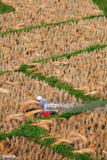 A farmer collects bundles of harvested rice in a paddy field in Mae Klang Luang Chiang Mai province Thailand on Friday Nov 6 2009 The Philippines the...