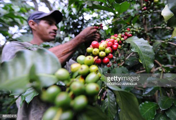 A farmer collects coffee seeds in a plantation near Ciudad Bolivar Antioquia Department 400 km northwest of Bogota on June 11 2009 Colombia the...