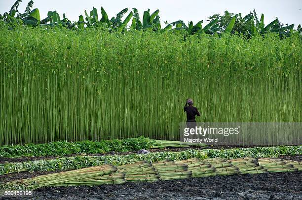 A farmer collects jute stalks from the fields Bangladesh produces eighty percent of the world's high quality jute Narail Jessore Bangladesh July 31...