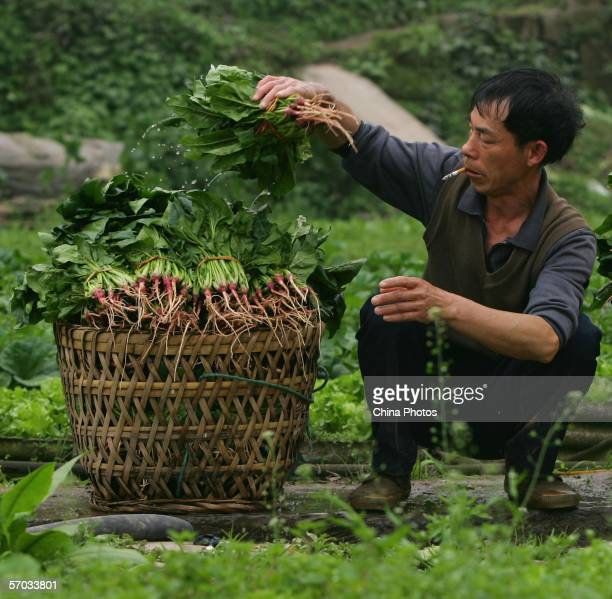 A farmer collects spinach in a basket while harvesting in the Lijiatuo region March 9 2006 in Chongqing Municipality China Central government...