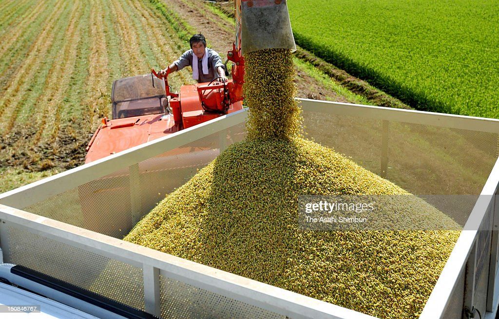 A farmer crops rice on August 23, 2012 in Nihonmatsu, Fukushima, Japan. Fukushima Prefecture checks the radiation level of all the rice hearvested in the prefecture before shipping.