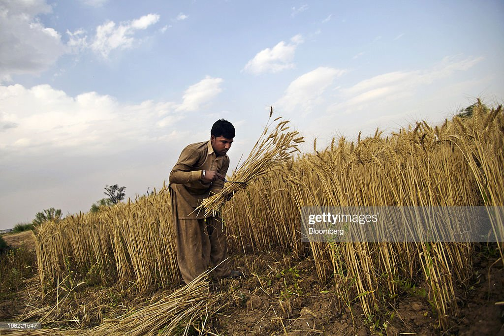 A farmer cuts wheat with a sickle during a crop harvest in the Chakwal district of Punjab province, Pakistan, on Saturday, May 4, 2013. Pakistan wheat output to increase this year, the U.S Department of Agriculture's Foreign Agricultural Service said in a report posted today on its website on April 4. Photographer: Asad Zaidi/Bloomberg via Getty Images