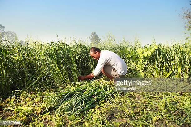 Farmer Cutting Fodder For Domestic Cattle
