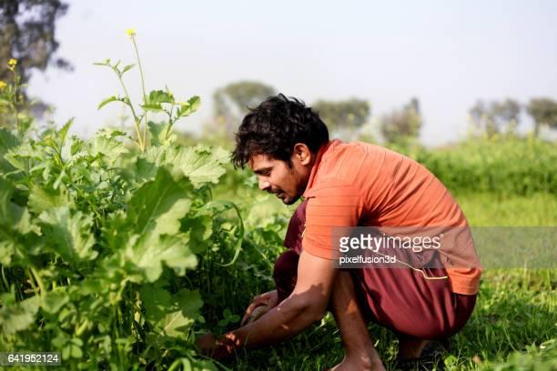 Farmer cutting silage