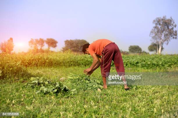 Landwirt schneiden silage