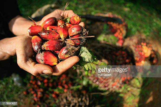 A farmer displays oil palm fruits which will be sent to Crude Palm Oil on June 24 2011 in Bintan Indonesia on June 24 2011 in Bintan Island Indonesia...