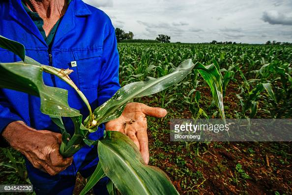 A farmer displays the caterpillar larvae of fall armyworms also known as Spodoptera frugiperda which are destroying the corn crop on his farm north...