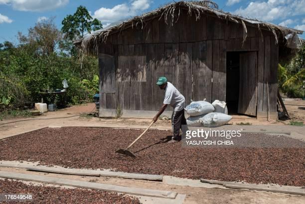A farmer dries cacao beans in Sao Felix do Xingu Para state northern Brazil on August 7 2013 AFP PHOTO / YASUYOSHI CHIBA