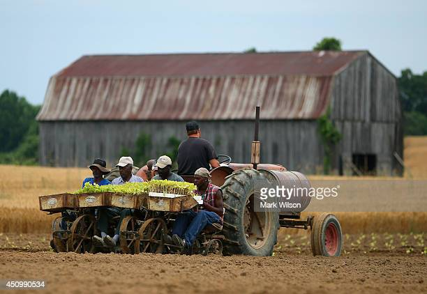 A farmer drives a tractor while workers feed small tobacco plants into a planting machine June 21 2014 in Owings Maryland The tobacco is harvested in...
